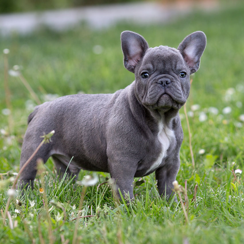 Our Dogs French Bulldog Breed