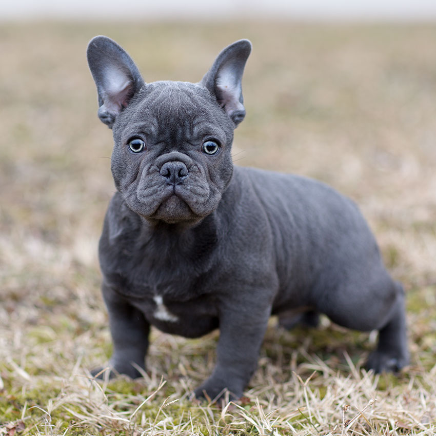 Micro Mini French Bulldog Full Grown Goldenacresdogs Com