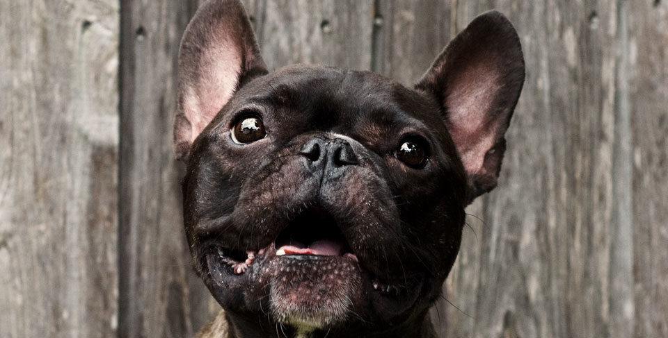 French Bulldog aggression