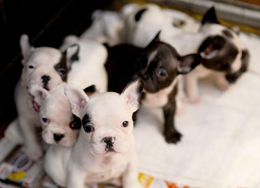 French Bulldog breeding - what it really looks like 1