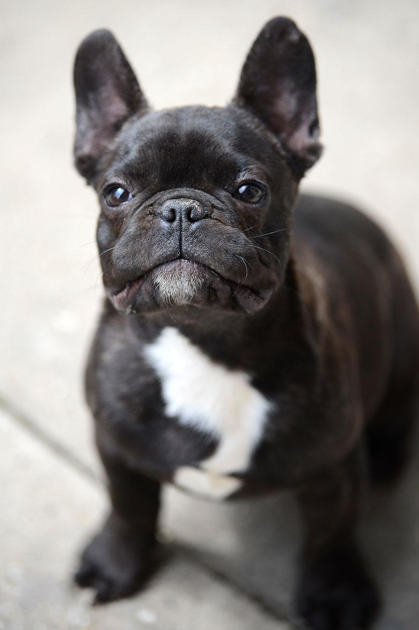 French Bulldog breeding - what it really looks like 2