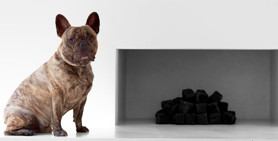 French Bulldog in the house – how they get along with kids and other animals