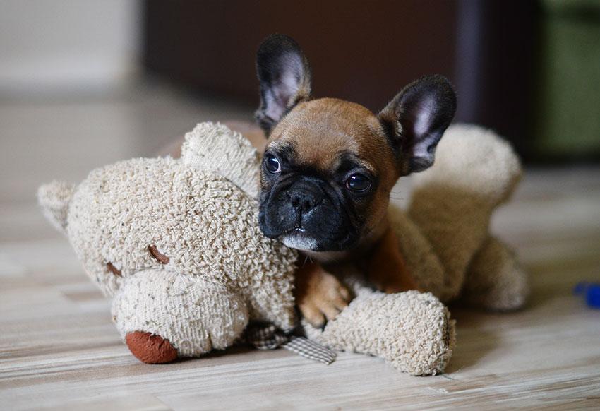 French Bulldog puppy socialization 2