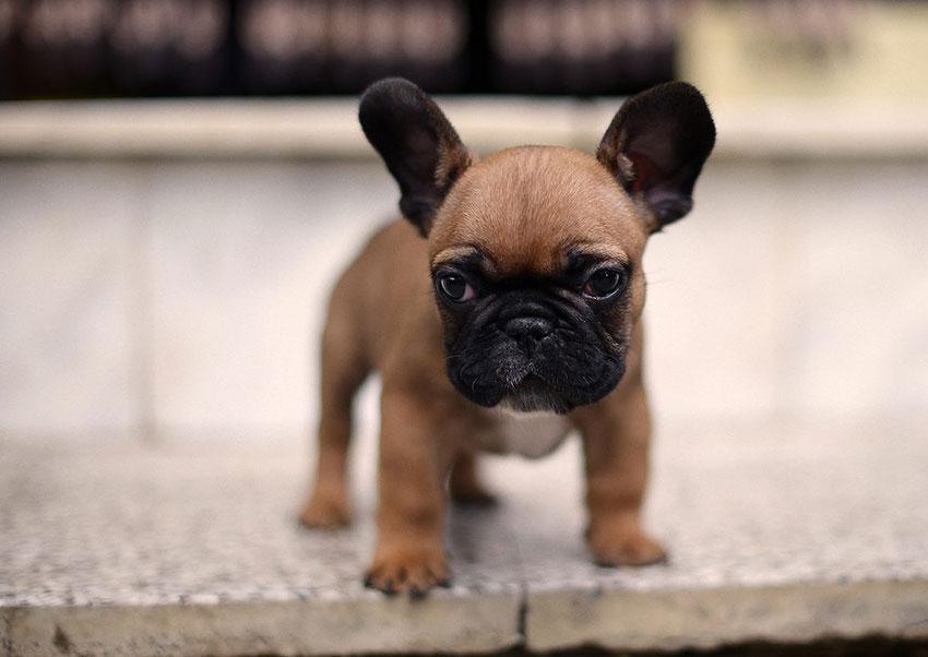 French Bulldog puppy socialization 3