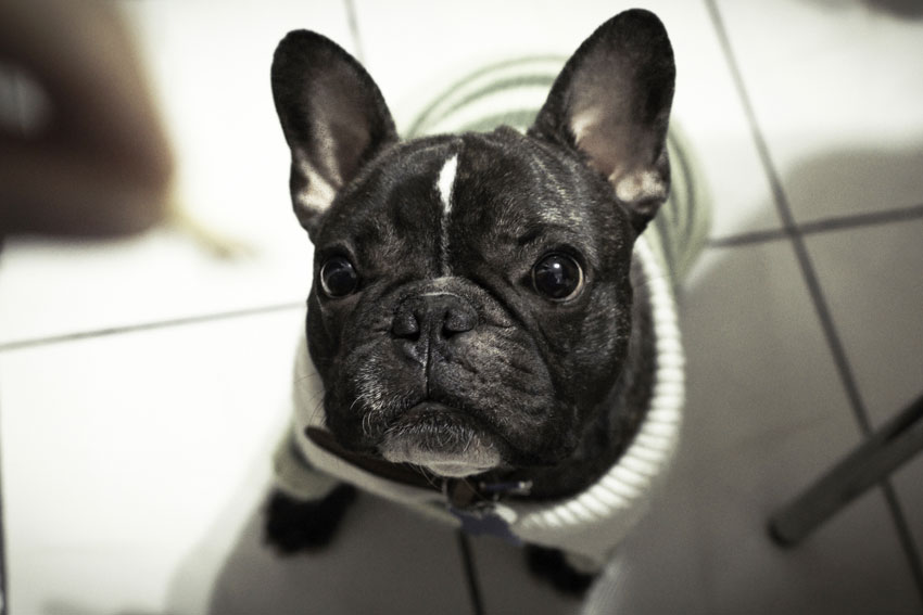 Fun facts about French Bulldog 1