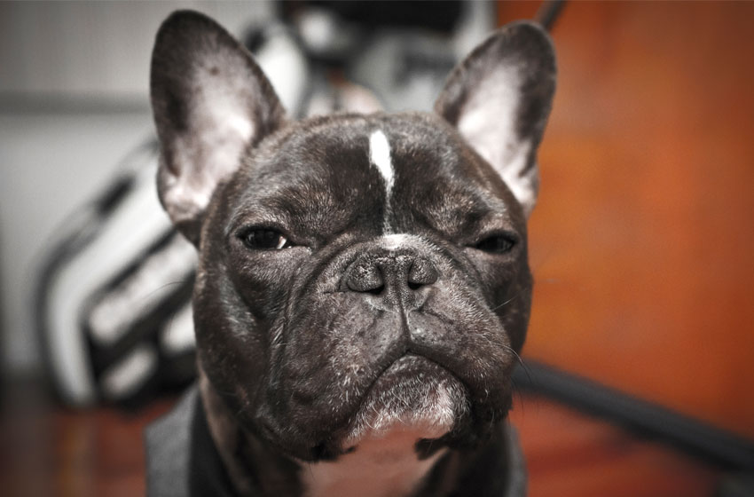 Fun facts about French Bulldog - French bulldog Breed