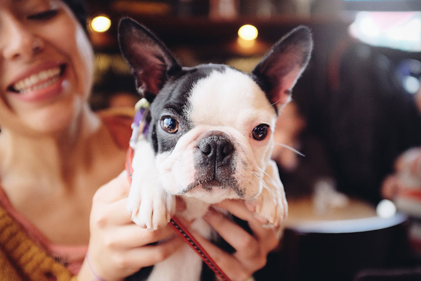 How to tell you are a French Bulldog owner 8