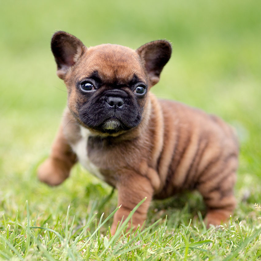 Our Breeding French Bulldog Breed