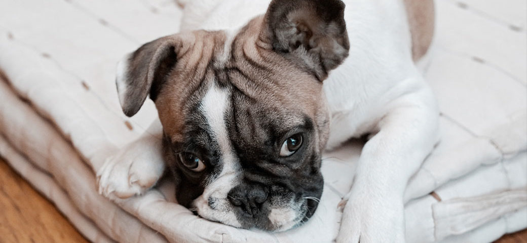 Separation anxiety in french bulldog