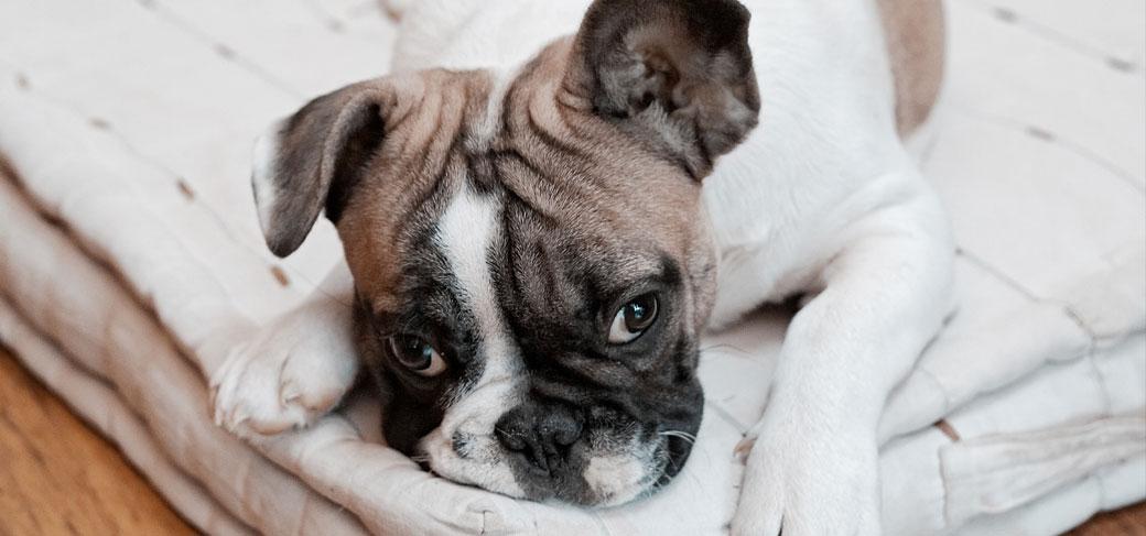 Separation Anxiety In French Bulldog French Bulldog Breed