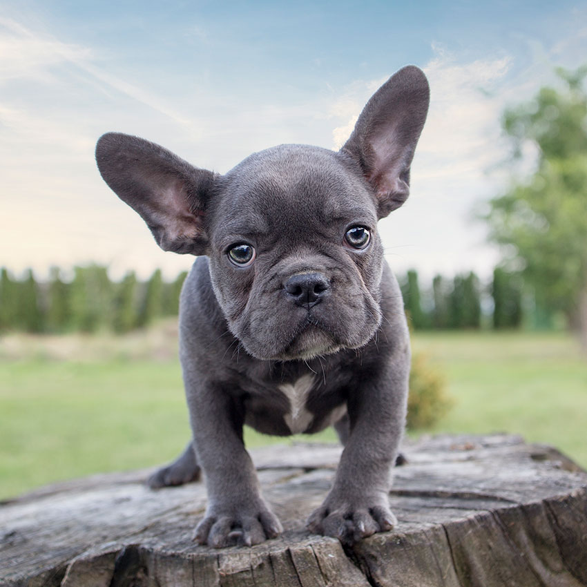 The Magnificent Appeal Of Rare Blue French Bulldogs French Bulldog