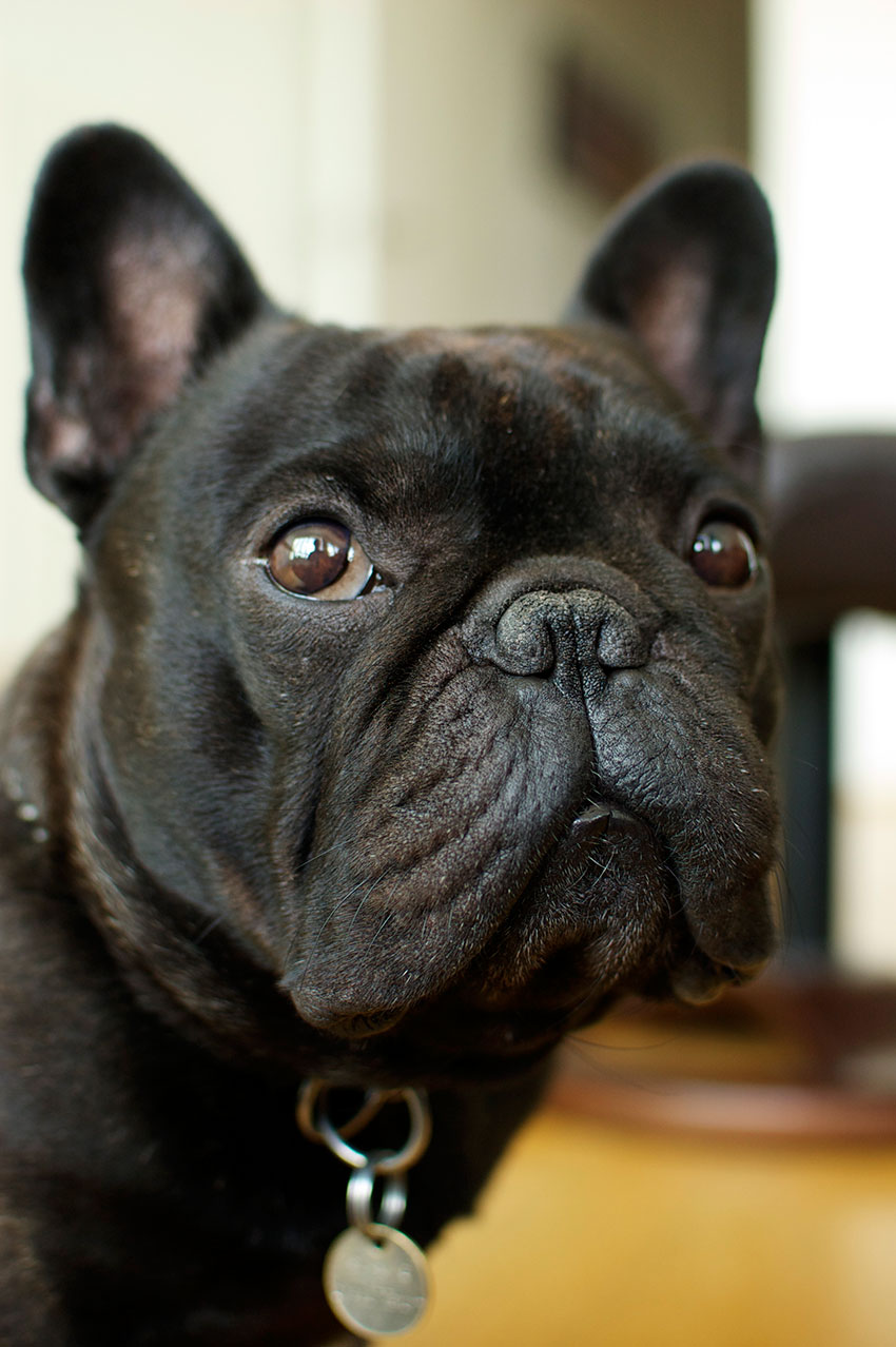Tips to keep your French Bulldog's coat shiny and healthy 2