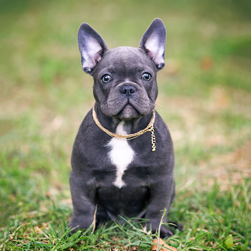 frenchie harnesses frenchbulldogbreed