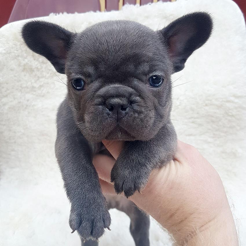 Our breeding - French Bulldog Breed