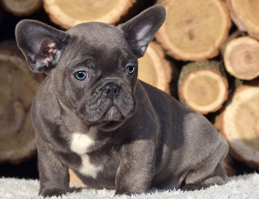 Our breeding - French Bulldog Breed