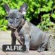 ALFIE - French Bulldog Breed