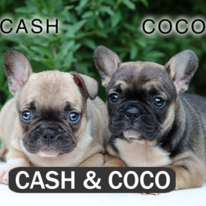 CASH & COCO - French Bulldog Breed
