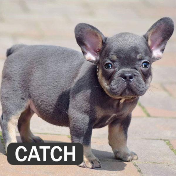 CATCH - French Bulldog Breed