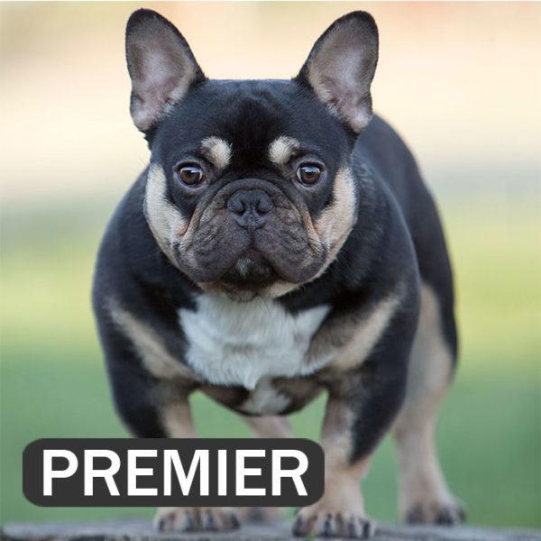 PREMIER. TRI mini black and tan boy.