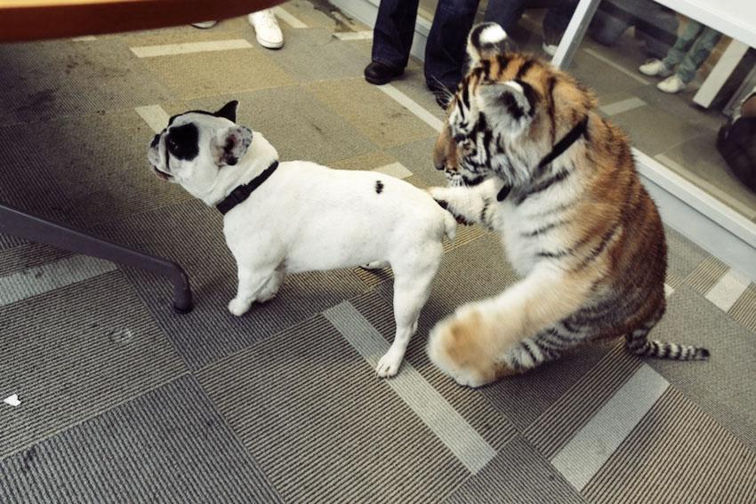 Baby Tiger Playing With A French Bulldog French Bulldog