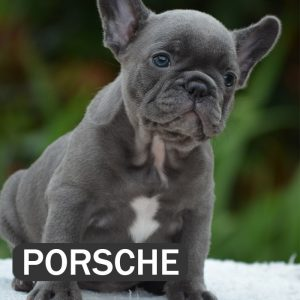 porsche, french bulldog puppy