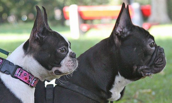 French bulldog Vs boston terrier