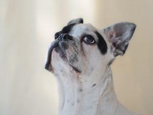 french bulldog vs boston terrier 1