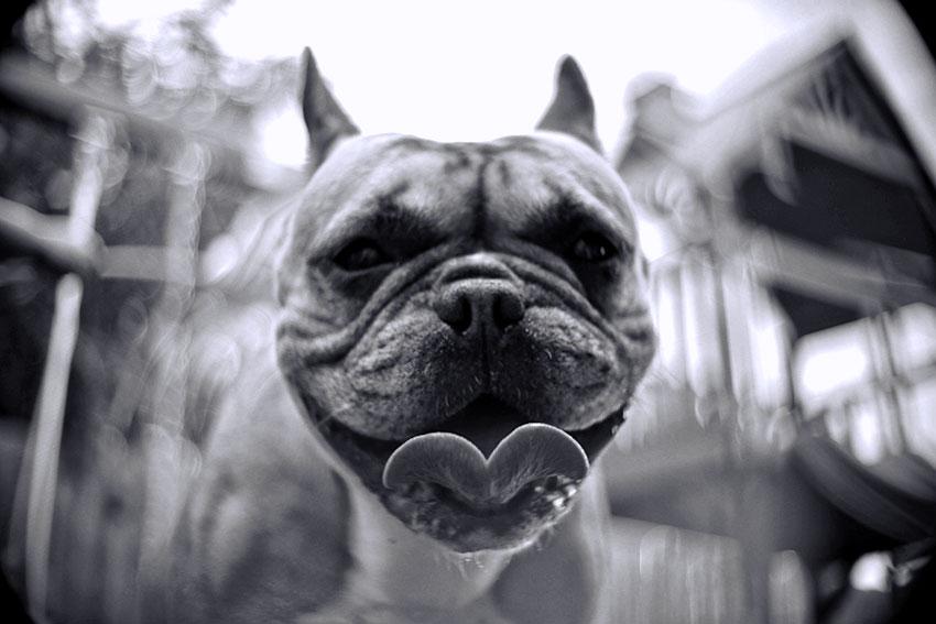 French Bulldog depression 2