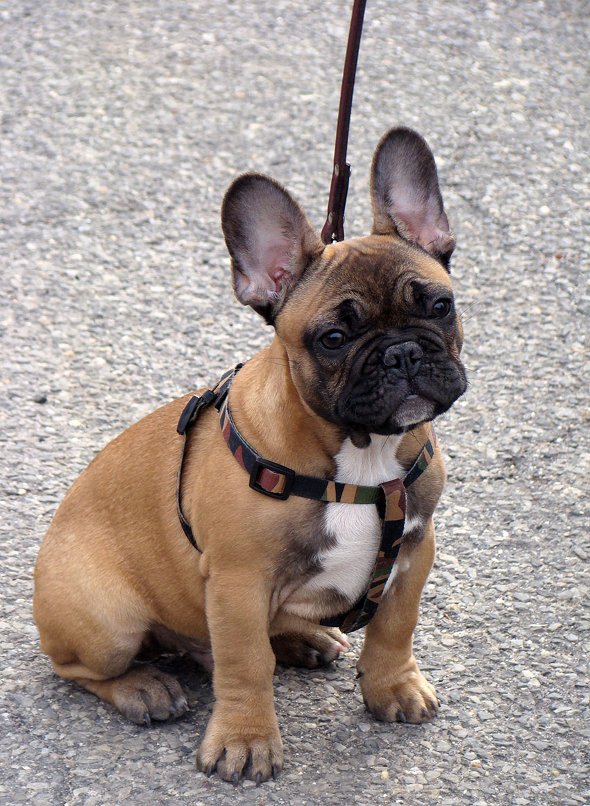 Introducing your French Bulldog to a leash 2