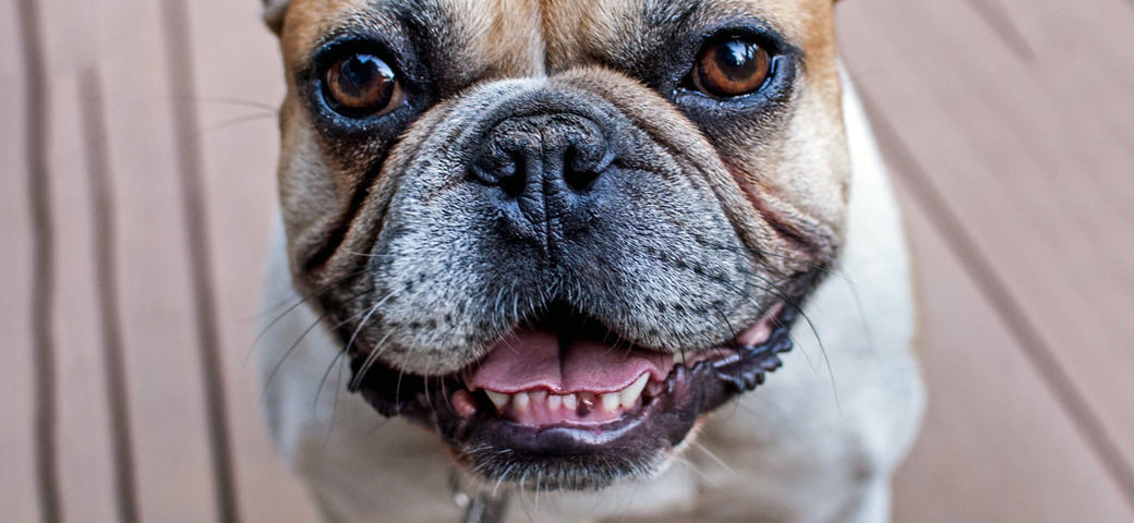Tips to keep your French Bulldogs teeth healthy