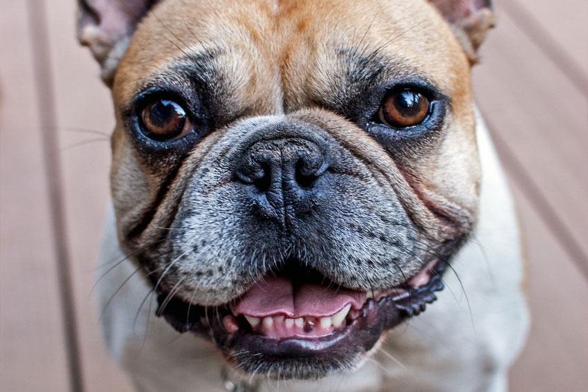 Tips to keep your French Bulldogs teeth healthy 1