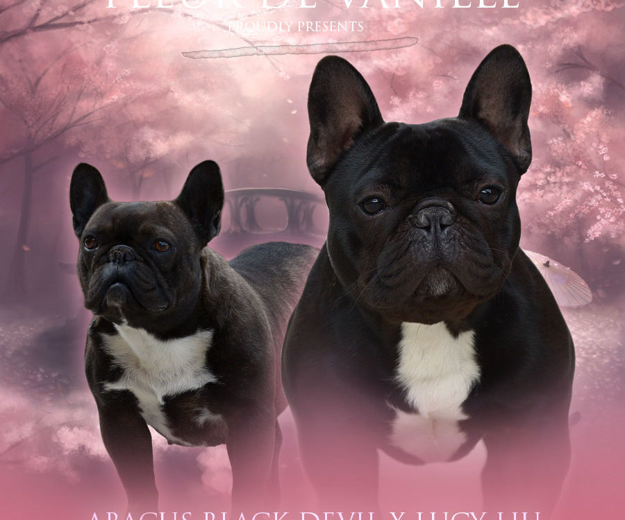 Abacus Black Devil x Lucy Liu upcoming litter