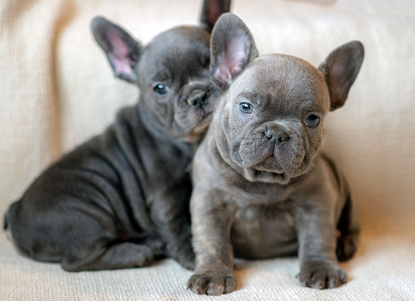 What Are The French Bulldog Colors French Bulldog Breed
