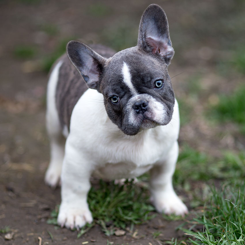 Blue French Bulldog The Ultimate Guide French Bulldog Breed