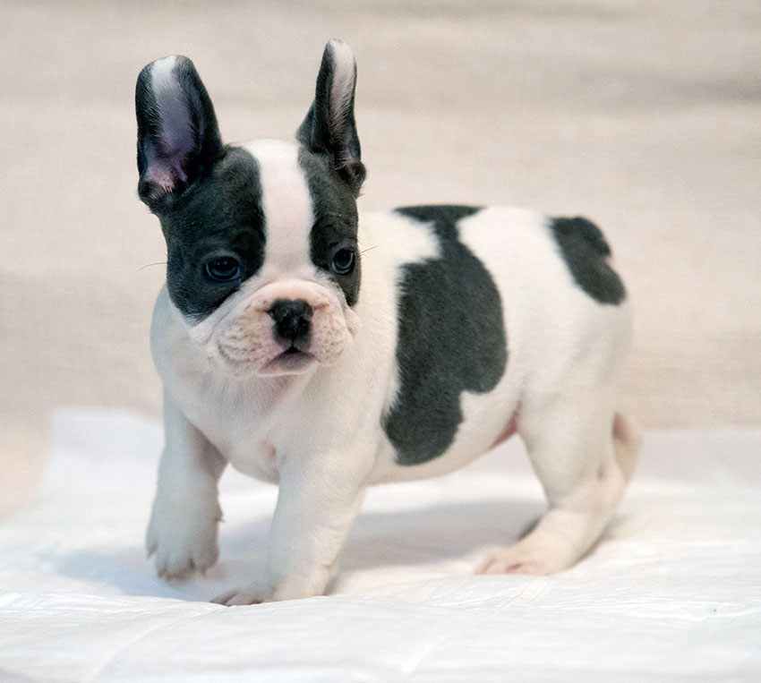 french bulldog puppy in New York for sale