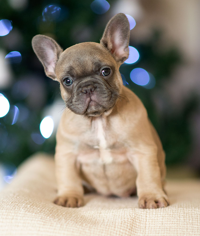 french bulldog puppy in new york