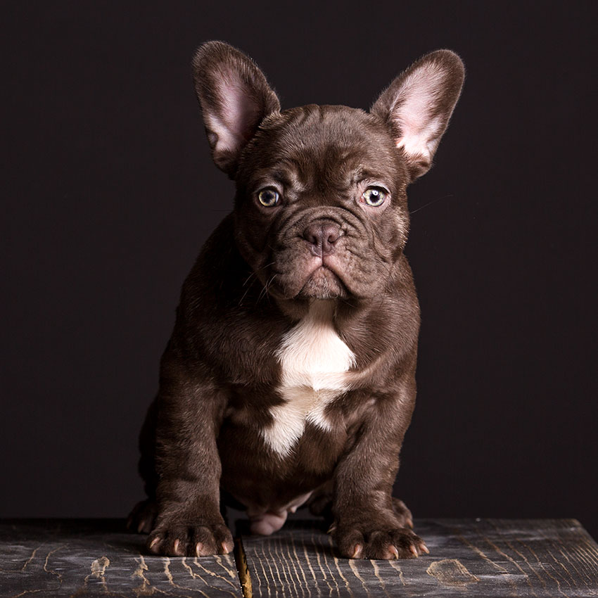 rare french bulldogs