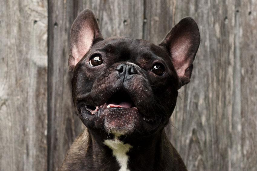 French Bulldog aggression 1