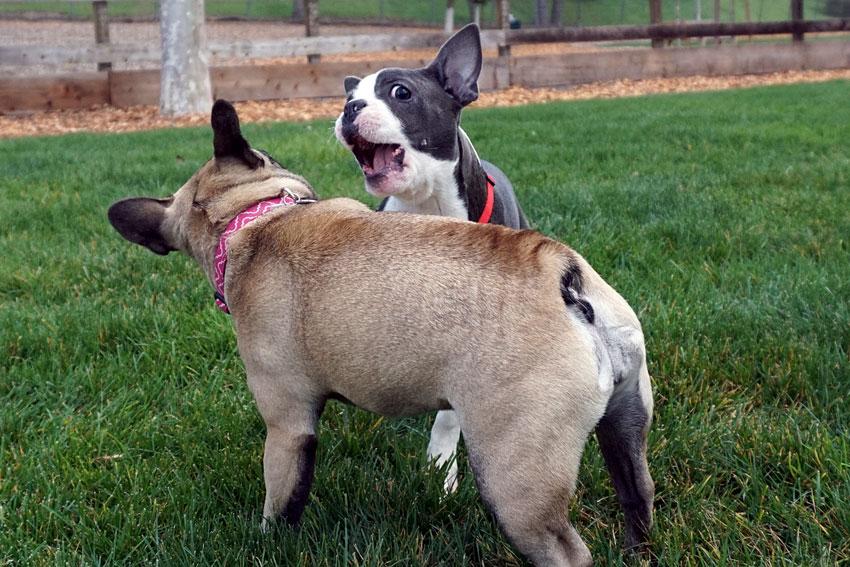 French Bulldog aggression 2