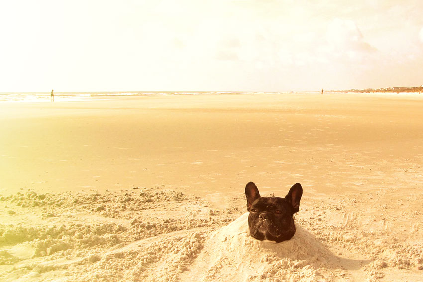 French Bulldog and hot weather 1