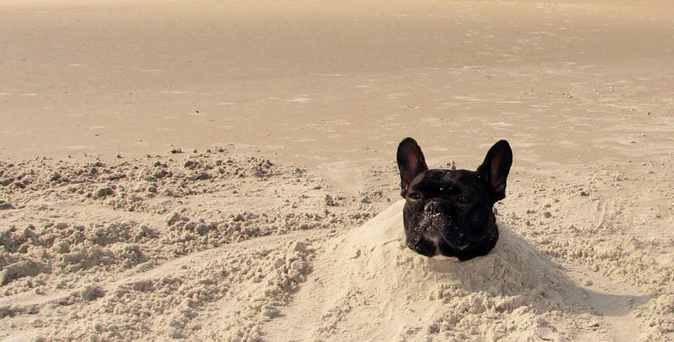 French Bulldog and hot weather