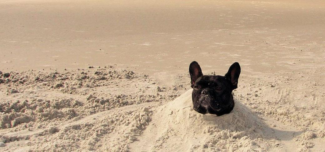 French Bulldog and hot weather - French Bulldog Breed