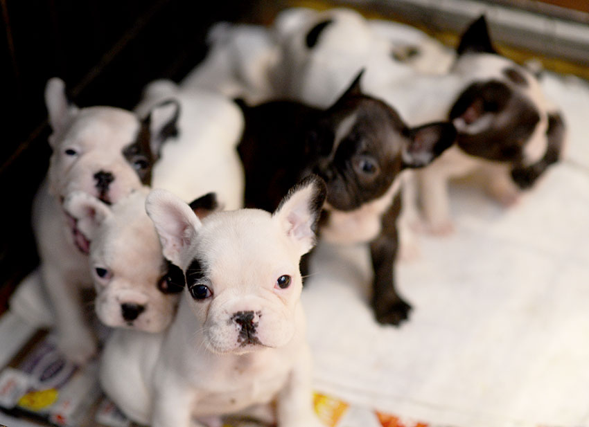 French Bulldog breeding - what it really looks like 1
