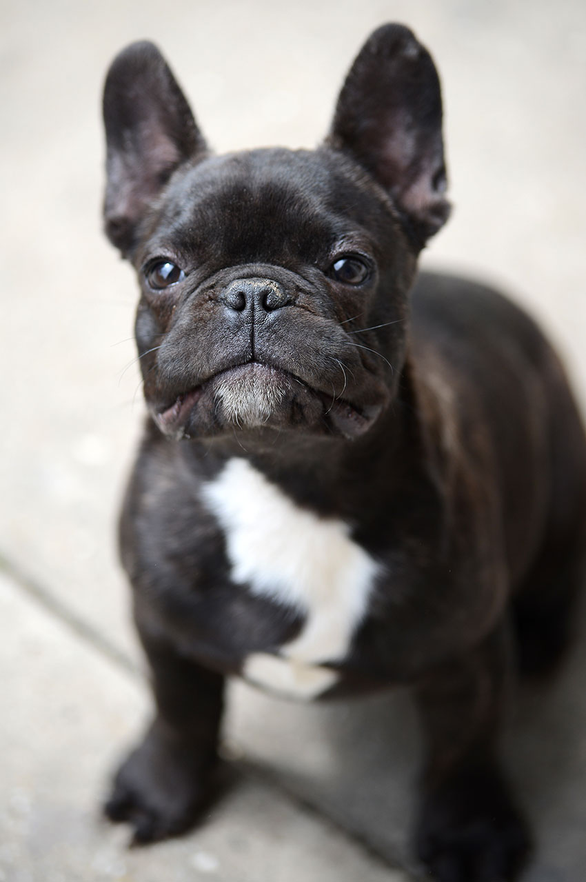 French Bulldog breeding - what it really looks like 2
