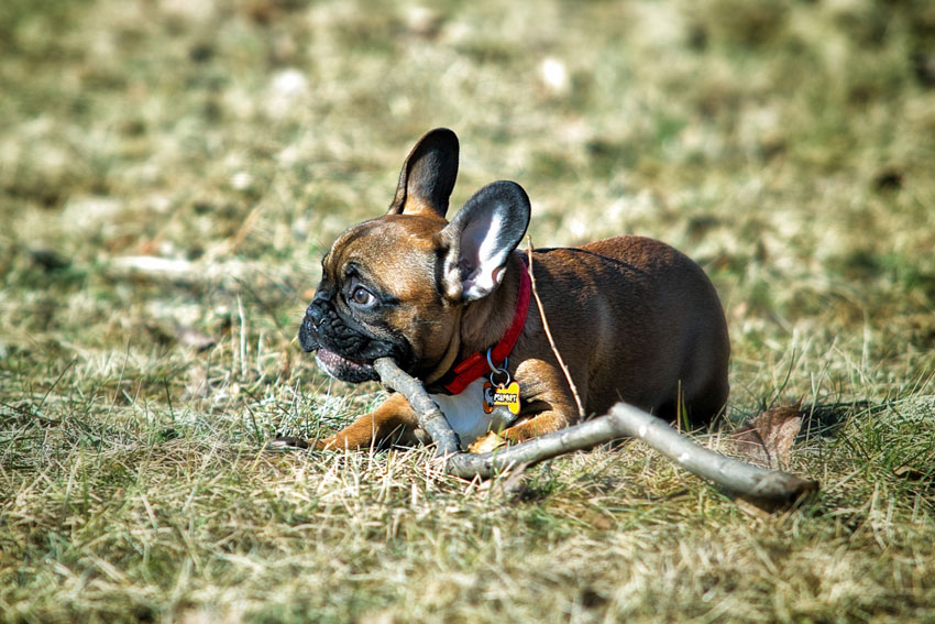 French Bulldog chewing habits 1
