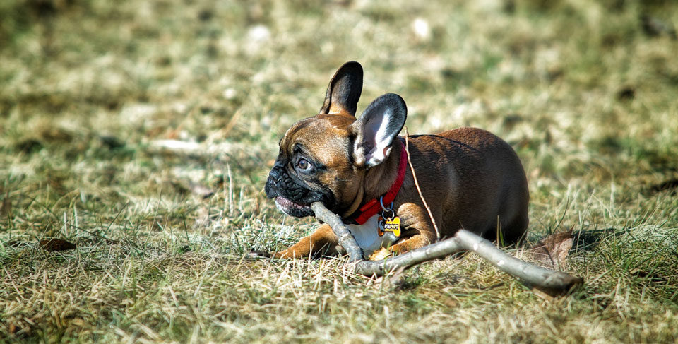 French Bulldog chewing habits