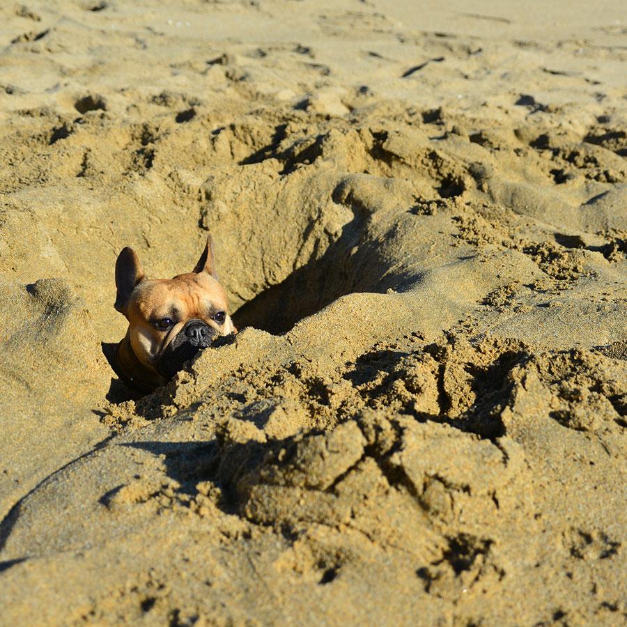 French Bulldog exercise needs 2