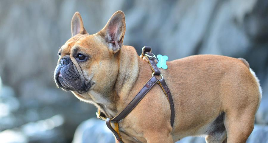 French Bulldog exercise needs
