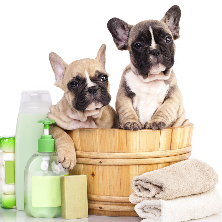 French Bulldog Grooming Demands