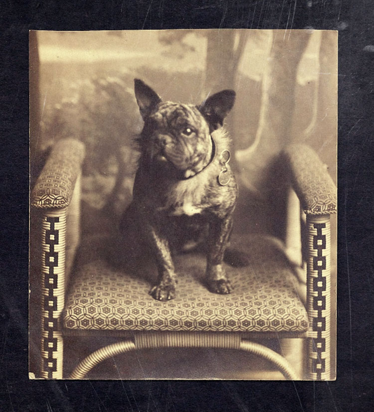 French Bulldog history 3
